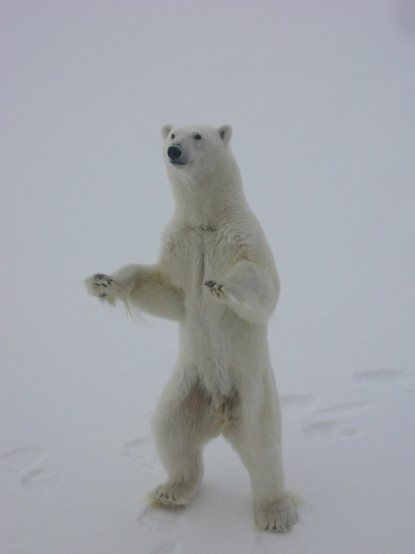 Take it easy! Calm down, stick to the facts! Polar bear photo by Kathy Crane, NOAA Arctic Research Office