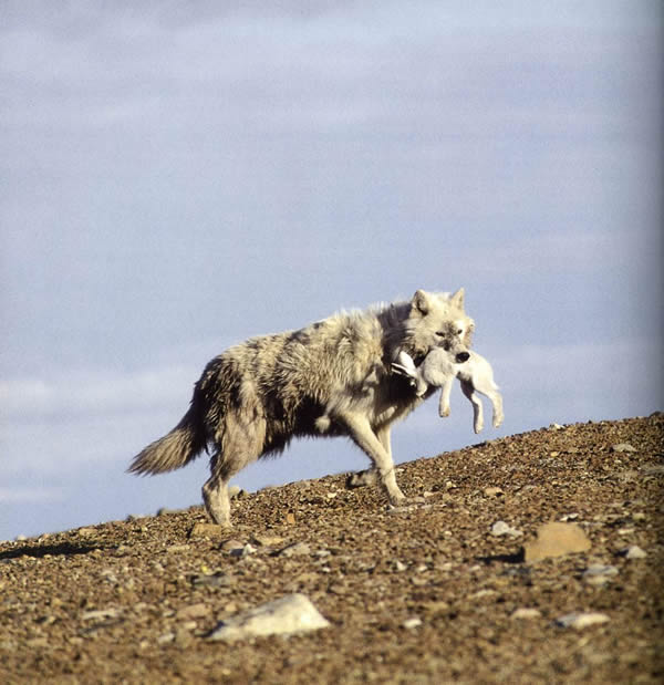 arctic essay wolf Read this essay and over 1,500,000 others like it now don't miss your chance to earn better grades and be a better writer.