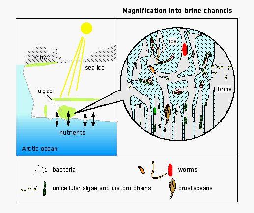 Arctic Ocean Food Web: Organisms That Thrive In Arctic Sea Ice