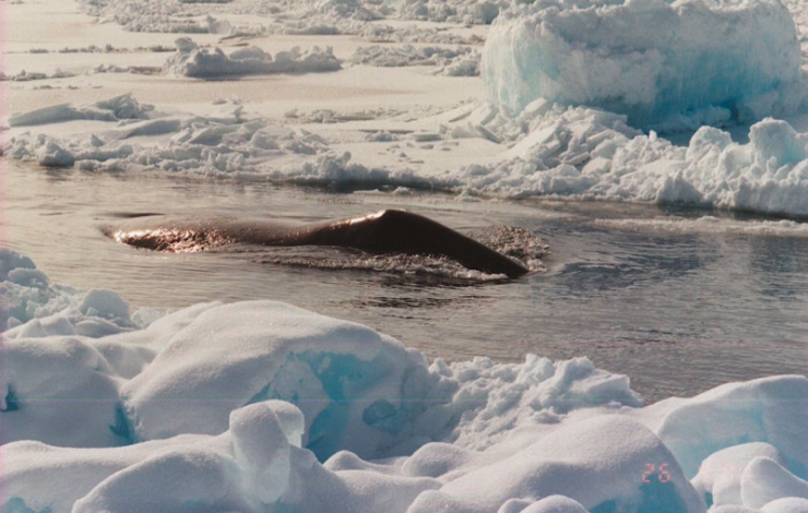 A bowhead whale swims through a lead in the sea ice.  Photo by Robert Suydam.