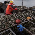 Ocean Acidification's impact on oysters and other shellfish