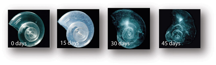 Pteropod image showing acidification results