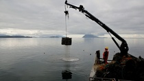 Taylor Shellfish crews haul out oysters