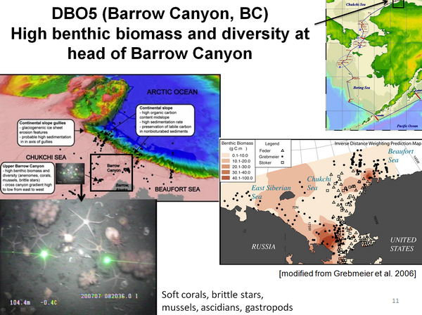 DBO5 (Barrow Canyon, BC) High benthic biomass and diversity at head of Barrow Canyon