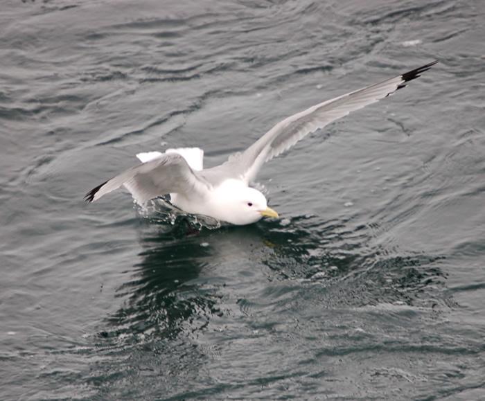 طائر زمج الماء