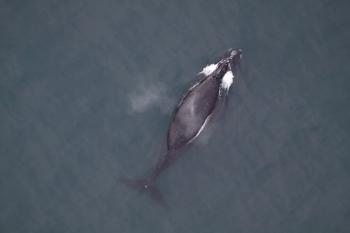 North Pacific right whale in Southeastern Bering Sea