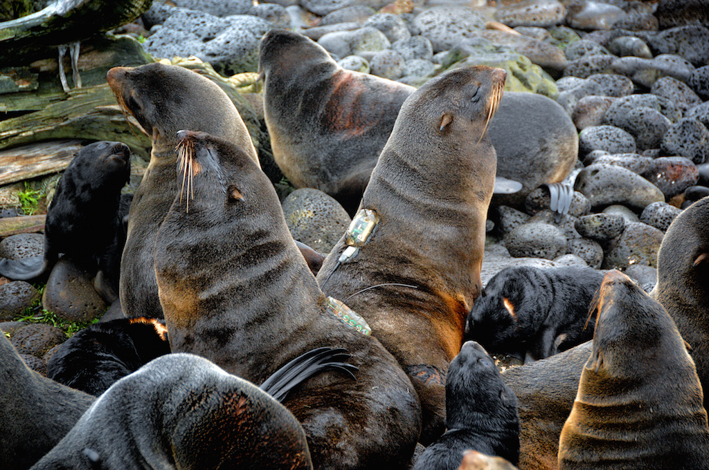 Northern_fur_seal2.JPG
