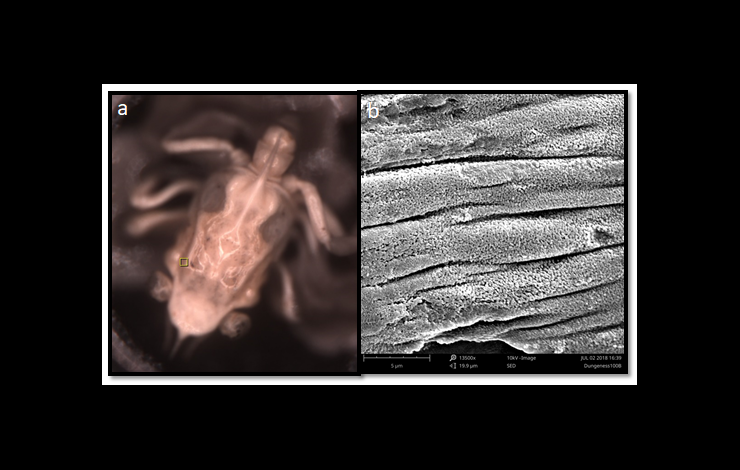 Scanning electron microscopic images of Dungeness crab larvae and magnified section showing damage to the structural shell