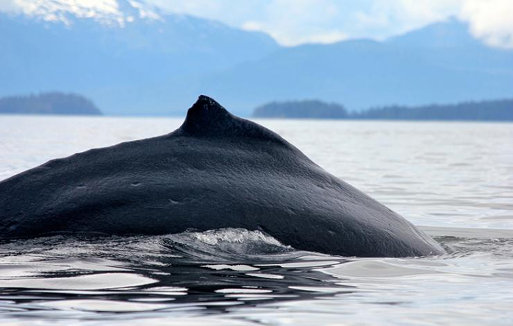 Humpback whale preparing for a foraging dive in Glacier Bay National Park and Preserve.