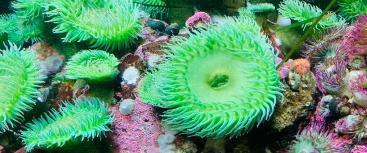 Green anemones Anthopleura elegantissima