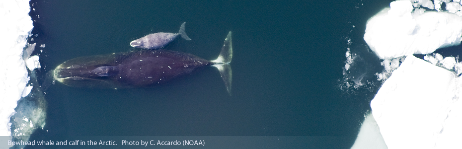Bowhead whale and calf in the Arctic